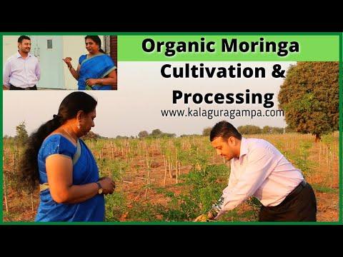 Organic Moringa Cultivation and Procecing/ Health Benifits of Moringa /Drumsticks leaf powder/Munaga