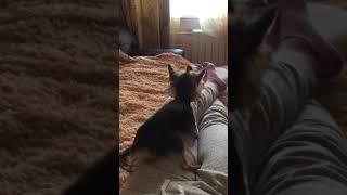 Йорк трахает ногу собака