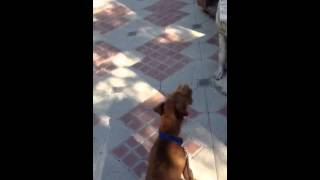 Irish Terrier Puppy Barking At A Dog Statue