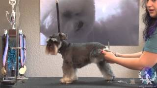 Grooming The Miniature Schnauzer: The Short N' Sassy Pet Trim With Lindsey Dicken Ncmg