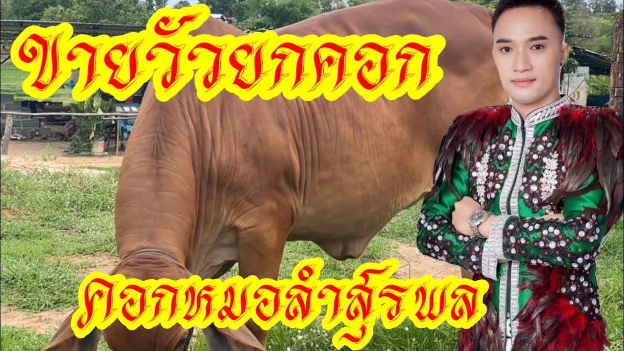 #ขายวัวยกคอก วัวบราห์มันลูกผสมสีแดงสวยๆ คอกหมอลำสุรพล บ้านหนองอีดำ อ.เมือง มหาสารคาม