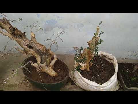 bonsai-serut-unik