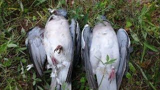 Подготовка к охоте на дикого голубя