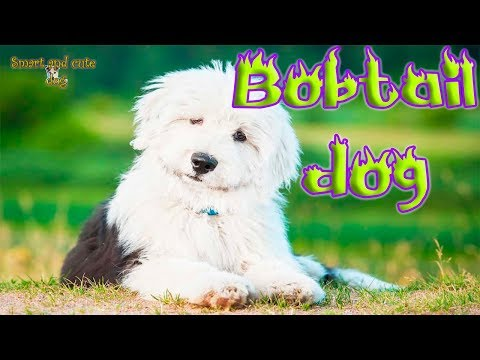 bobtail-dog-is-friendly-with-dogs-and-cats-as-well-as-singing-well.-compilation