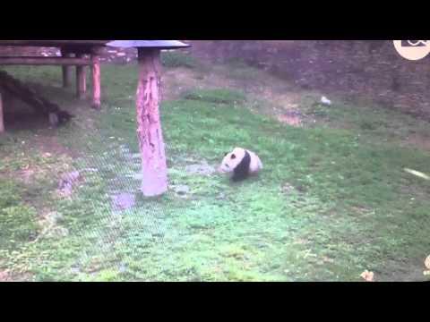 Wolong National Nature Reserve - Panda be Rollin