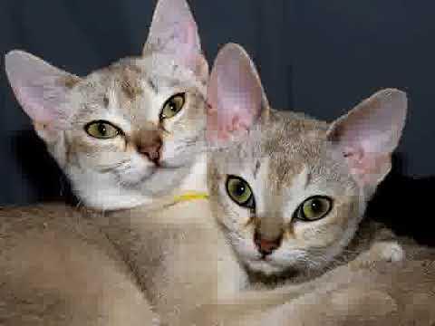 The Singapura Cats