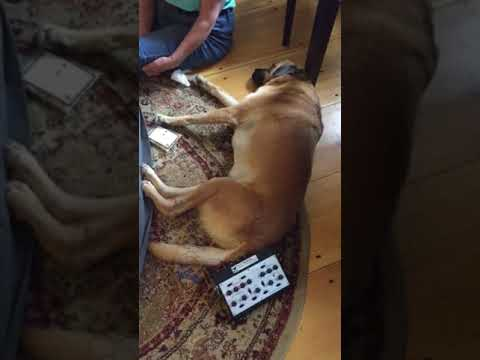 Electro-Acupuncture for Paralyzed Anxious Dog