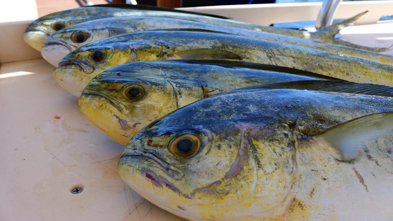 Fish so nice they named it twice mahi mahi dorado for How to cook mahi mahi fish