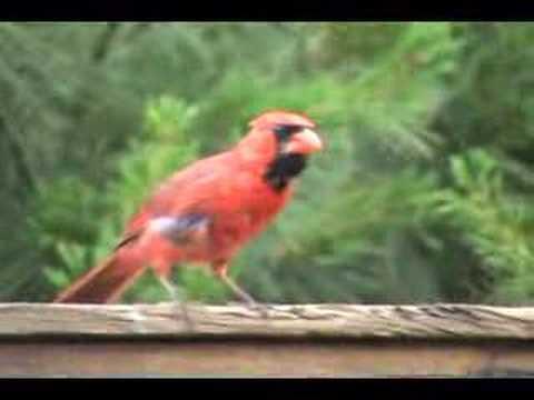 Cardinal Vs Blue Jay Youtube
