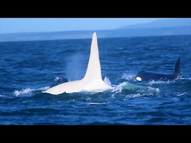 3 Years After This White Killer Whale Vanished, A Scientist Made An Incredibly Rare Sighting