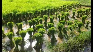 Growing Rice from Rice Seeds - Rice Farming Agriculture Technology - Rice Cultivation
