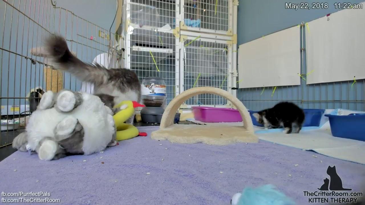 guardian kittens rolling fauxgra youtube