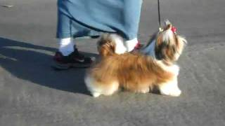 Shih Tzu Misty Dajavue's Heat Of The Moment.avi