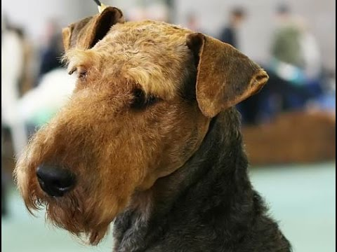 Welsh Terrier (Terrier Galés) - Dog Breed