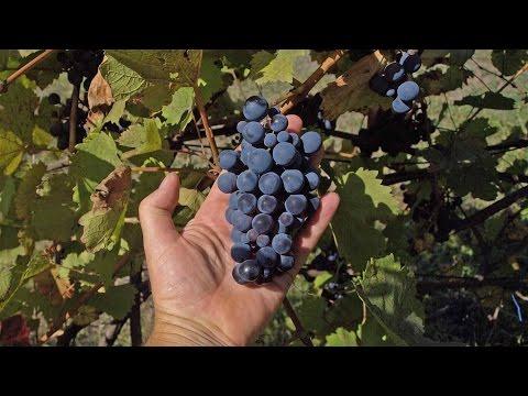 Виноград Изабелла синий виноград