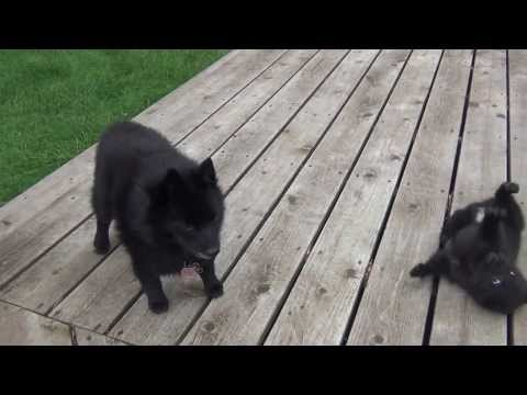 Shiba Inu and schipperke puppy playing