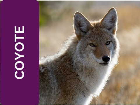 Image of: Wolf Coyote Meaning Relationships spirit Animal Power Animal And Totem Series Youtube Coyote Meaning Relationships spirit Animal Power Animal And Totem