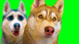 НАС ЗАБИРАЮТ В АРМИЮ! МЫ НЕ СДАЛИ ИХЭ!! (Хаски Бублик) Говорящая собака Mister Booble