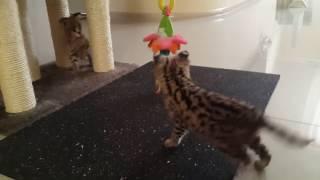 ♔VipLeo. Сервал. Котята сервала. Serval.