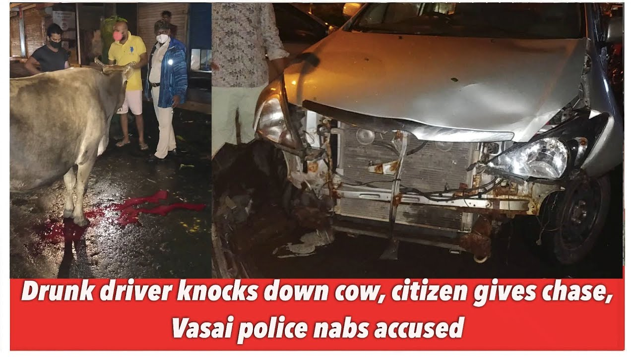 Drunk driver knocks down cow, citizen gives chase, Vasai police nabs accused