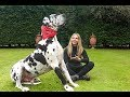 THE GREAT DANE -  THE TALLEST DOG IN THE WORLD / Animal Watch の動画、YouTube動…