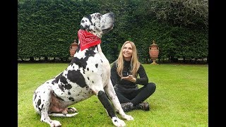 THE GREAT DANE   THE TALLEST DOG IN THE WORLD / Animal Watch