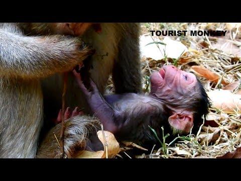 Bravo Fresh newborn monkey get nurse newborn just cut placenta Mom want cut newborn&39;s navel