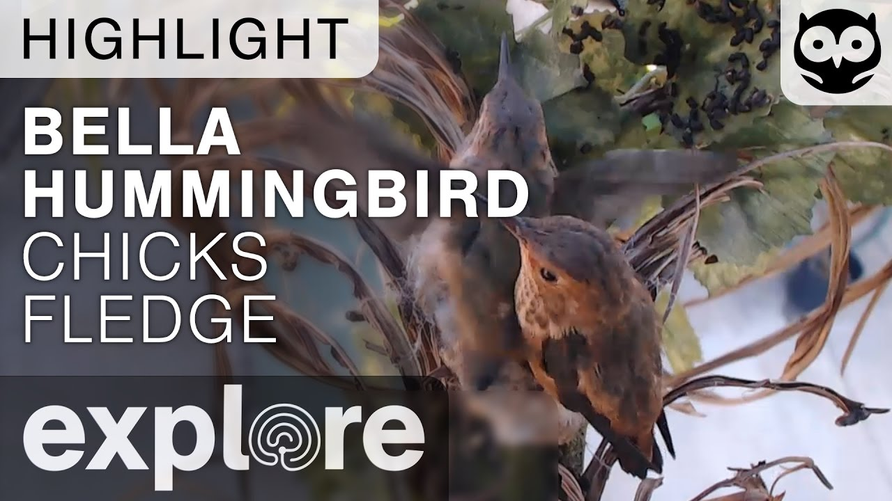 Bella Hummingbird Chicks Fledge - Live Cam Highlight