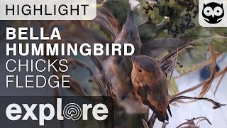 Bella Hummingbird Chicks Fledge - Live Cam Highlight thumbnail