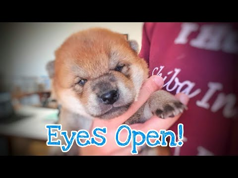 eyes-are-finally-opening!-but-who's?-/-shiba-inu-puppies