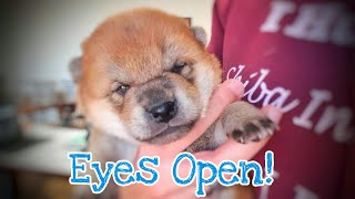 Eyes are finally opening! But who's? / Shiba Inu puppies