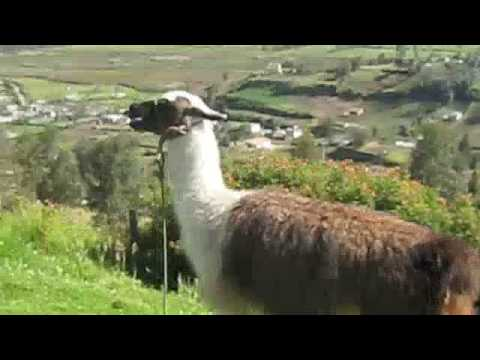 Download A llama spits on me!