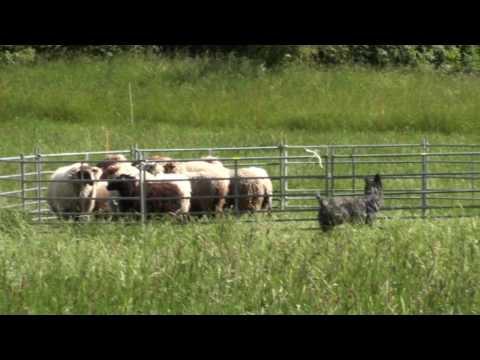 Bouvier des Ardennes Loki legt den NHAT ab  (11 Monate)
