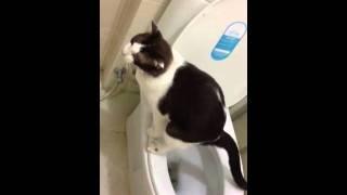Smart cat uses toilet
