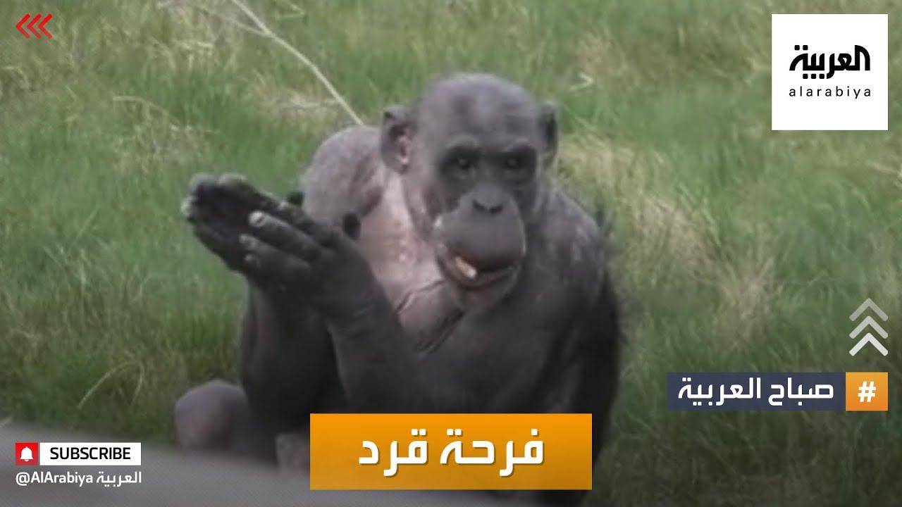 صباح العربية | أخبار بلا سياسة: قرد يصفق فرحا برفع الحظر!  - نشر قبل 2 ساعة