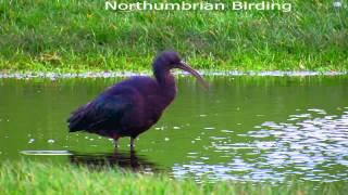 Glossy Ibis Tynemouth Northumberland