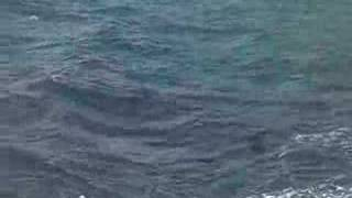 black ulua attacking fish on kauai