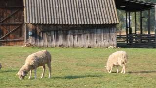 Nasze owce fryzyjskie, Ouessant i kozy karpackie