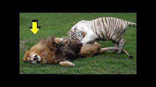 White Tiger Vs Powerful Lion - Tigre Blanco Vs Leo