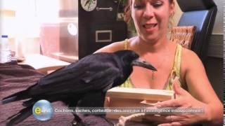 INTELLIGENCE / Un corbeau qui n'a pas une cervelle d'oiseau !