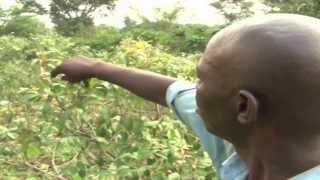 Mirungi (Khat) growing booms in Butambala