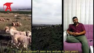 Akkuş (Akbaş) Çoban Köpeği 2 (with English subtitles)