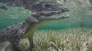 Brave Swimmer Gets Up Close With Crocodile