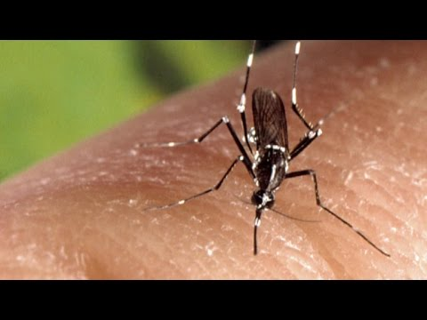 """""""Asian tiger"""" mosquito could carry Zika virus to more U.S. states"""