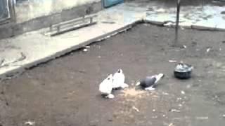 Kentau Golubi Taxo 06.03.2013г