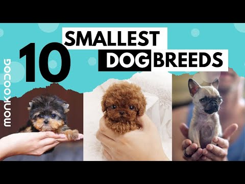 The SMALLEST DOG BREEDS in the World. || Monkoodog
