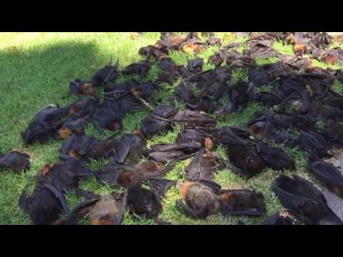 Hundreds of Endangered Flying Foxes Succumb to Heatwave