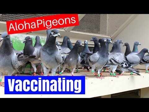 Homing Racing Pigeon 2018 Update 6, Vaccinating Your Pigeons