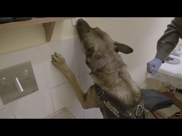Więzień zastawił pułapkę na psa do narkotyków! #Służba_Więzienna