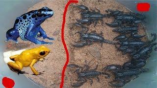 Bắt Con Ếch Đồng ,Con Cuốn Chiếu Bỏ Vào Bẫy Bọ Cạp Núi Khổng Lồ Và Cái Kết Bất Ngờ .Scorpion VS Frog